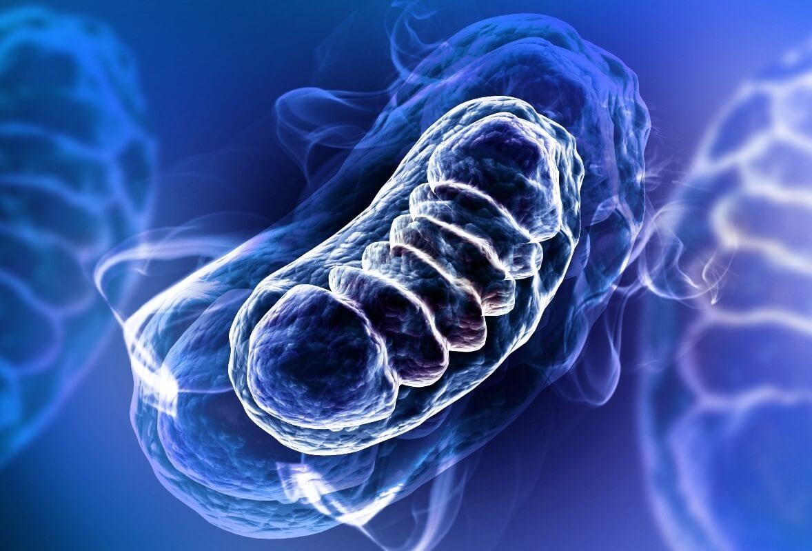 Mitocondri: funzioni principali ed accessorie